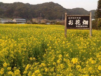 和田浦・お花畑花園_菜の花